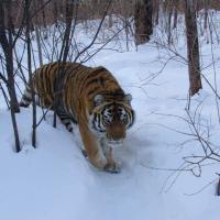 Экологический тур: По следу уссурийского тигра.
